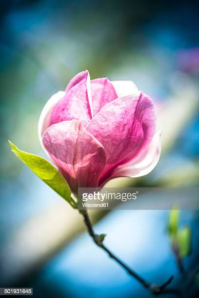pink magnolia blossom - tulip tree stock photos and pictures