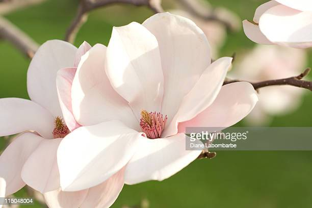 pink magnolia blossoms - magnolia stock photos and pictures