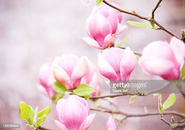 pink magnolia flower - magnolia stock photos and pictures