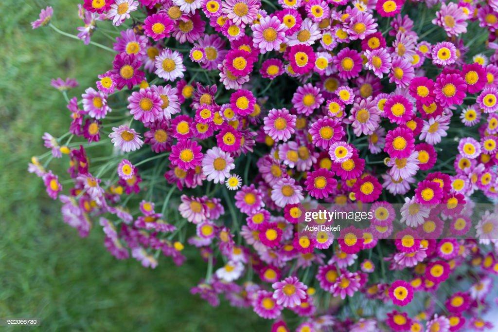 Pink marguerite daisy : Stock-Foto