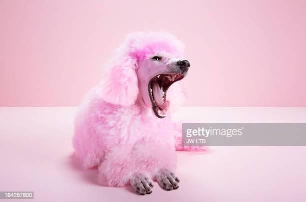 Pink miniature poodle, Pink Poodle studio