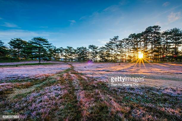 Pink morning grass.