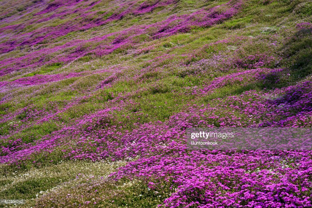 Pink moss flowers stock photo getty images pink moss flowers stock photo mightylinksfo