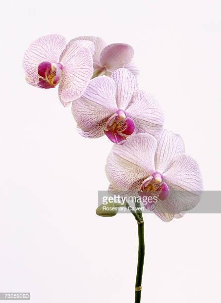 pink moth orchids with bud (phalaenopsis hybrid) - ラン ストックフォトと画像