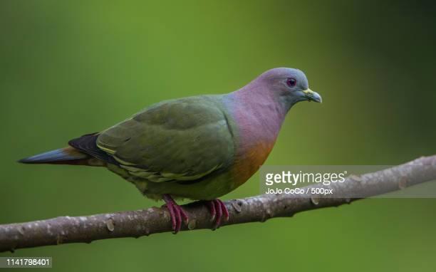 pink neck green pigeon - jo wilder stock-fotos und bilder