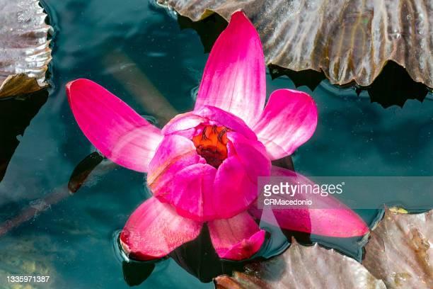 pink nymphaeaceae flower. - crmacedonio photos et images de collection