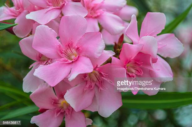 pink oleander flowers - imagebook stock pictures, royalty-free photos & images