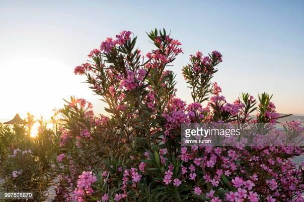 pink oleanders(DSCF0510-1.jpg)