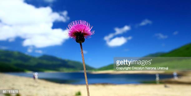 pink on blue - gunma prefecture stock photos and pictures