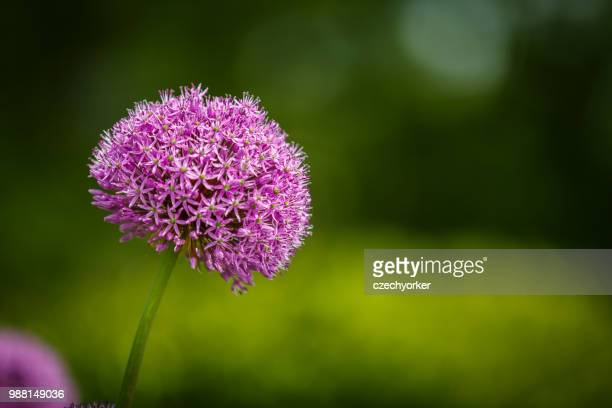 pink on green - allium flower stock pictures, royalty-free photos & images