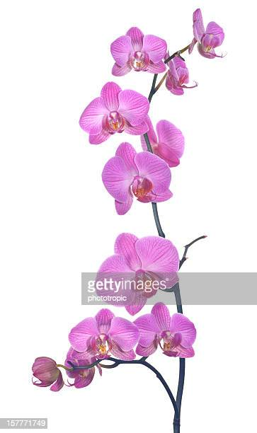 pink orchid composition - orchid flower stock pictures, royalty-free photos & images