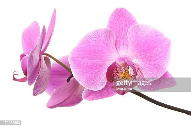 pink orchid flowers isolated on white - orchid flower stock pictures, royalty-free photos & images