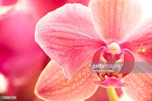 pink orchid, macro shot - orchid flower stock pictures, royalty-free photos & images