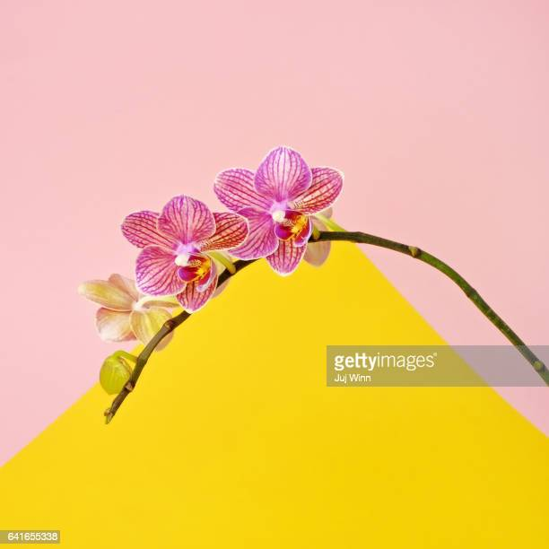 pink orchid on color block background - orchid flower stock pictures, royalty-free photos & images