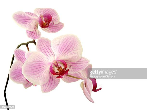 pink orchid on white - orchid stock pictures, royalty-free photos & images