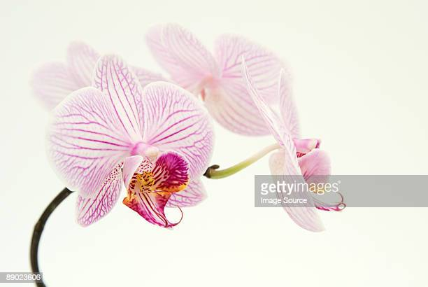 pink orchid - orchid stock pictures, royalty-free photos & images