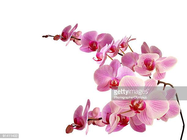 pink orchids against white background - orchid stock pictures, royalty-free photos & images
