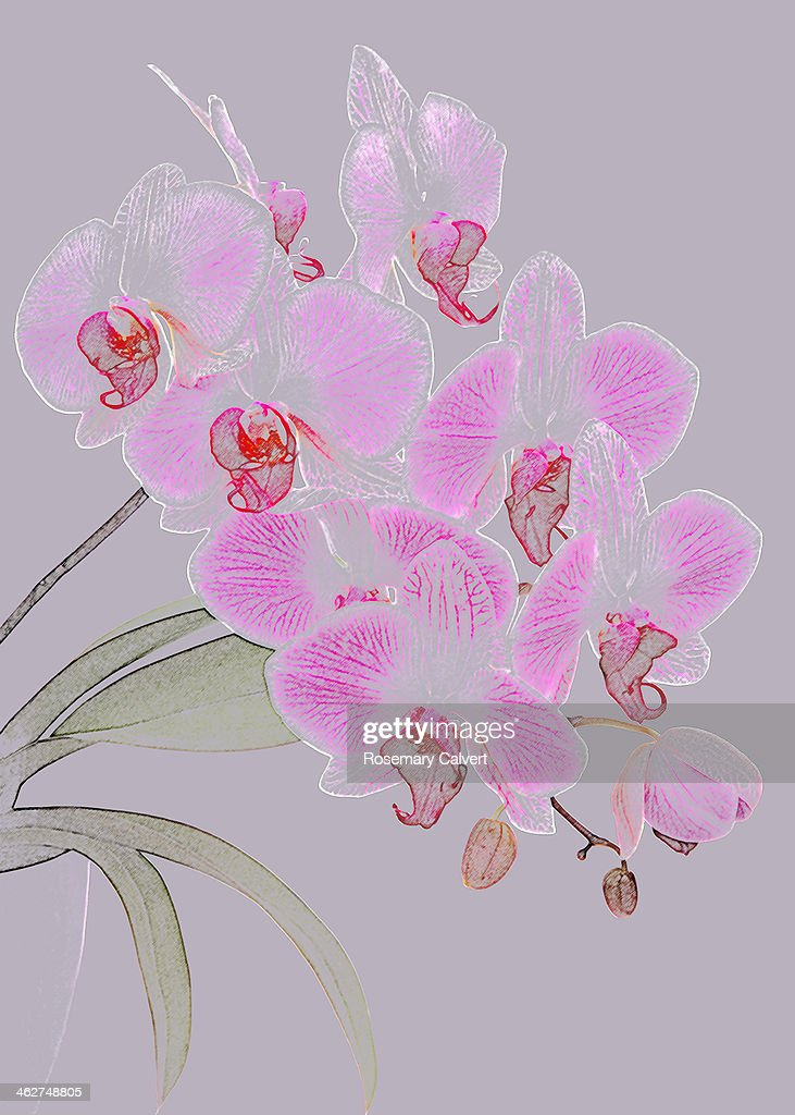 Pink Orchids As Coloured Pencil Drawing High Res Stock Photo Getty Images