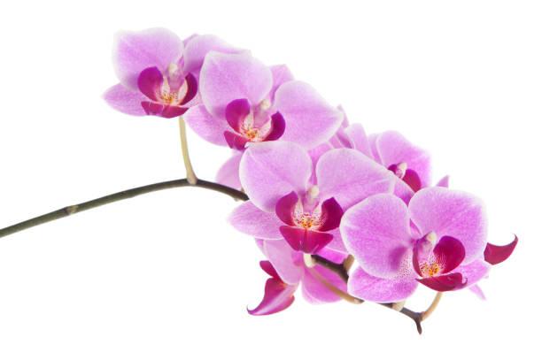 Pink Orchids Wall Art