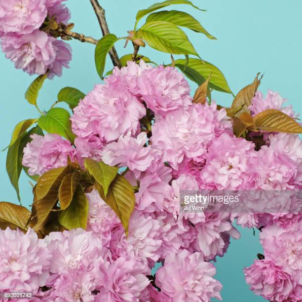 Pink oriental cherry blossoms