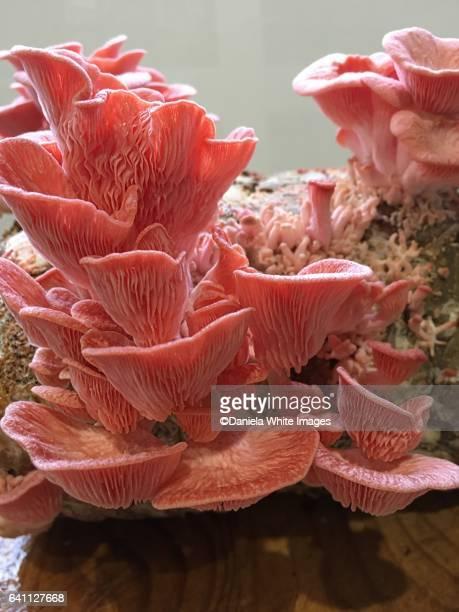 Pink oyster mushroom, common pink oyster mushroom / (Pleurotus salmoneo stramineus, Pleurotus djamor