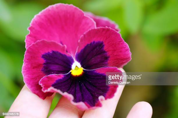 Pink pansies stock photos and pictures getty images pink pansy mightylinksfo Choice Image