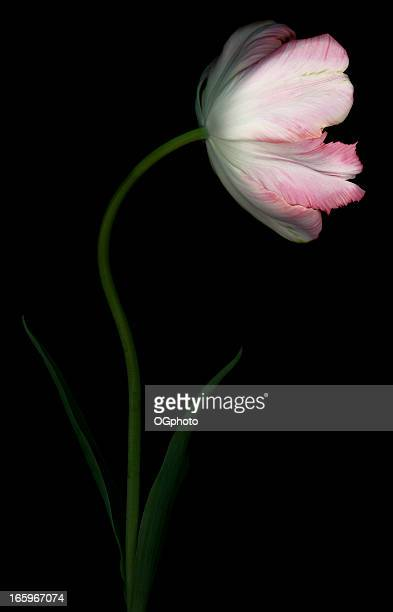 pink parrot tulip - ogphoto stock pictures, royalty-free photos & images