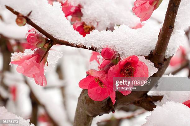 pink peach blossom dusted with snow - peach flower stockfoto's en -beelden