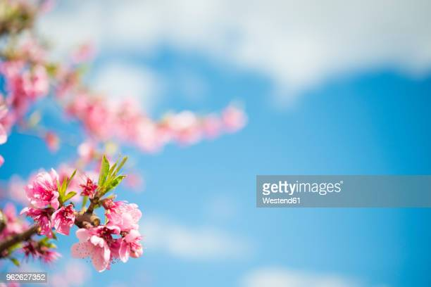 pink peach blossoms against sky, close-up - peach blossom stock pictures, royalty-free photos & images