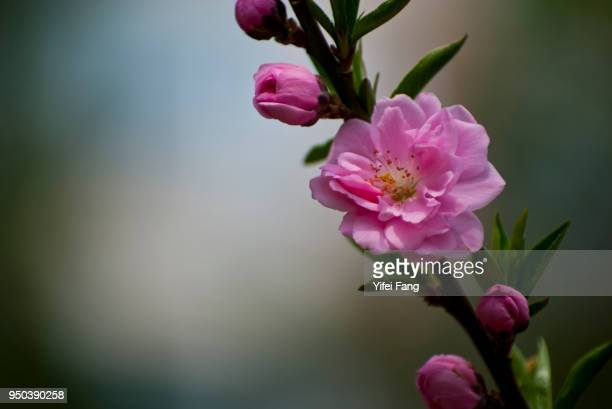 pink peach flower bursting into bloom - peach blossom stock pictures, royalty-free photos & images