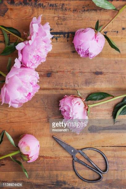Pink peonies and scissors on wood