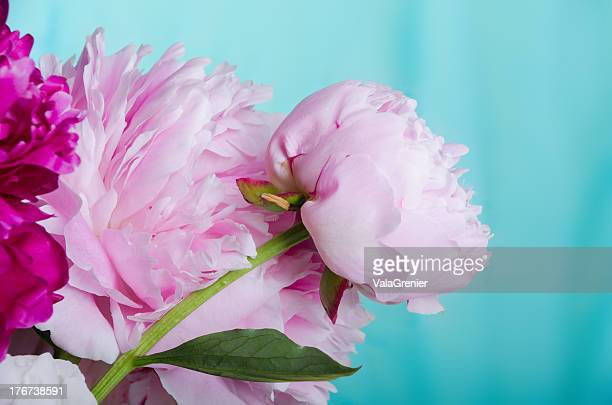 Pink peonies of blue-green background.