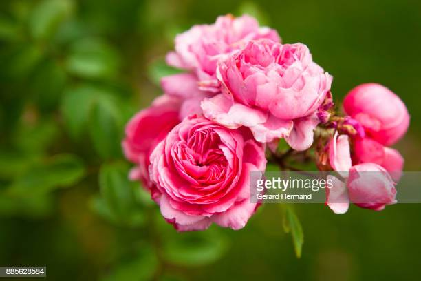 Pink peonies on branch