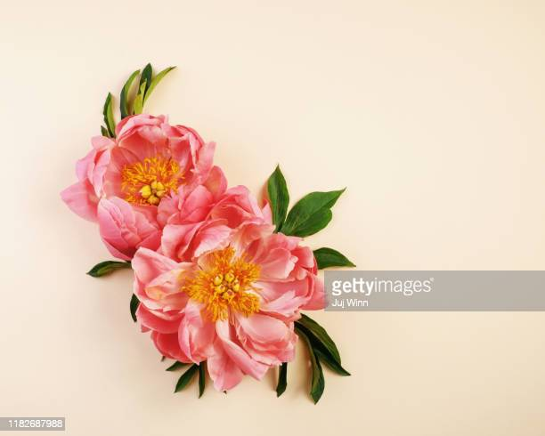 pink peonies on cream background - peony stock pictures, royalty-free photos & images