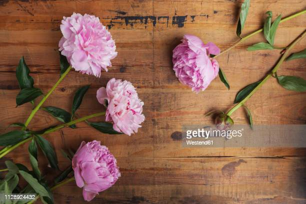 pink peonies on wood - peony stock pictures, royalty-free photos & images