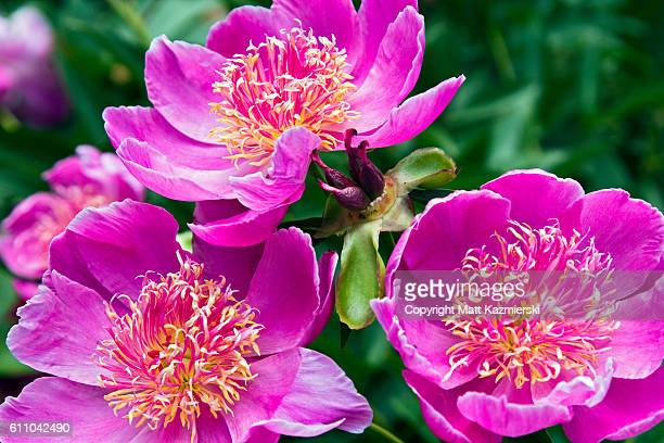 pink peonies - ann arbor stock pictures, royalty-free photos & images