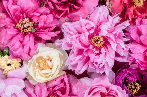 Pink peonies - gettyimageskorea
