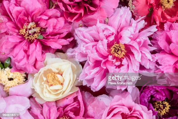 pink peonies - flower head stock photos and pictures