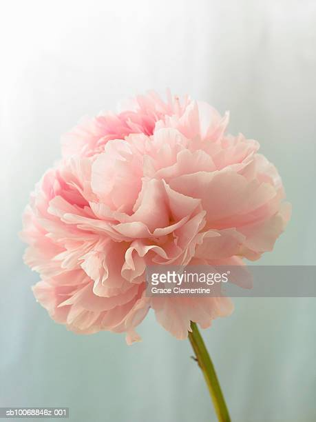 Pink peony (Paeonia lactiflora) against light blue background, close-up