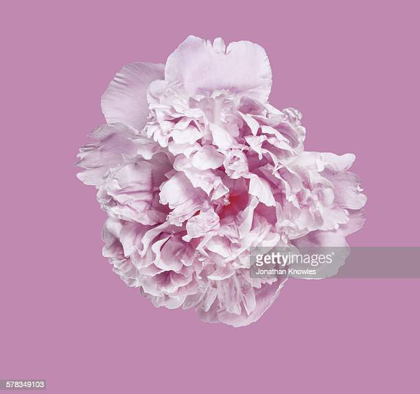 Pink Peony against pink background