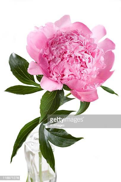 ピンクの牡丹'Mons ます。ジュール Elie'(Paeonia lactiflora