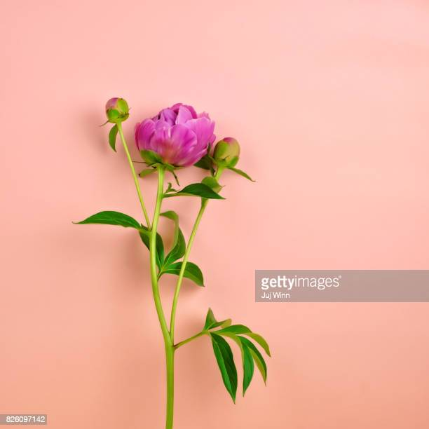 pink peony on peach background - peach flower stockfoto's en -beelden