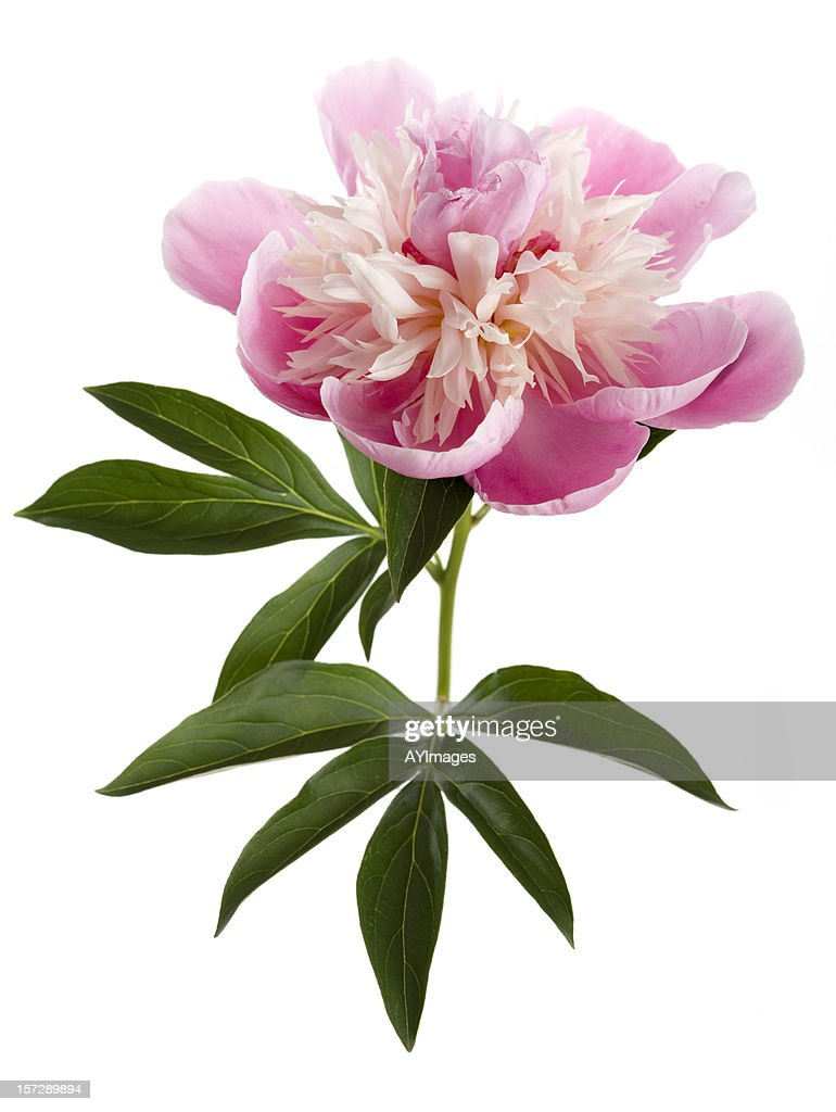 Peony Stock Photos And Pictures Getty Images