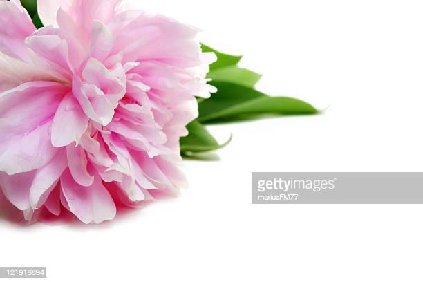 peonia rosa - peonia foto e immagini stock