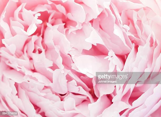 pink peony - pivoine photos et images de collection