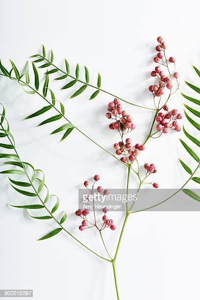 Pink peppercorn branch on white background.