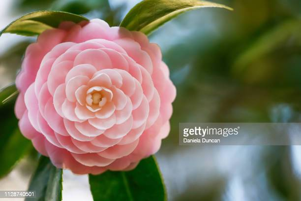 pink perfection camellia - 完成された ストックフォトと画像
