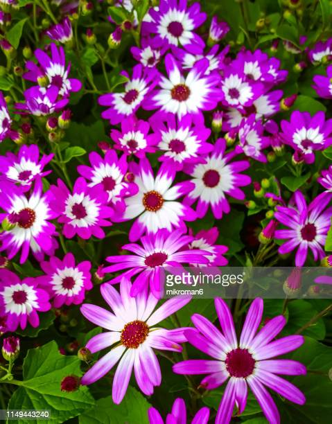 pink pericallis, called cineraria flowers - gerbera stock pictures, royalty-free photos & images