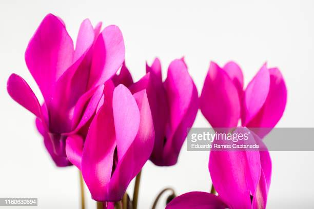 pink petals for with white background - flowering plant stock pictures, royalty-free photos & images