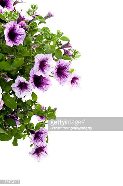 pink petunias on white - hanging basket stock pictures, royalty-free photos & images